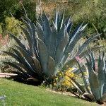 Beautiful agave not trimmed