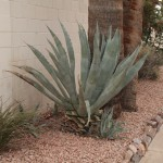 Agave trimmed near a path