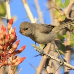 Virdin feeding on ocotillo